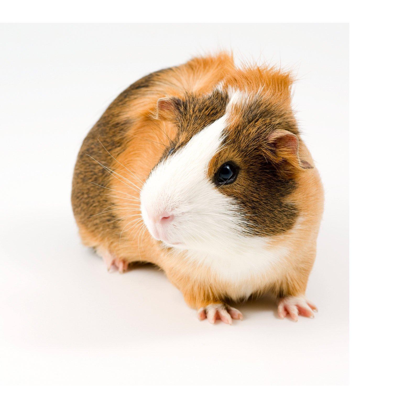 petco guinea pig animals pets pet animal pigs type left