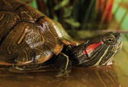 fun facts about aquatic turtles