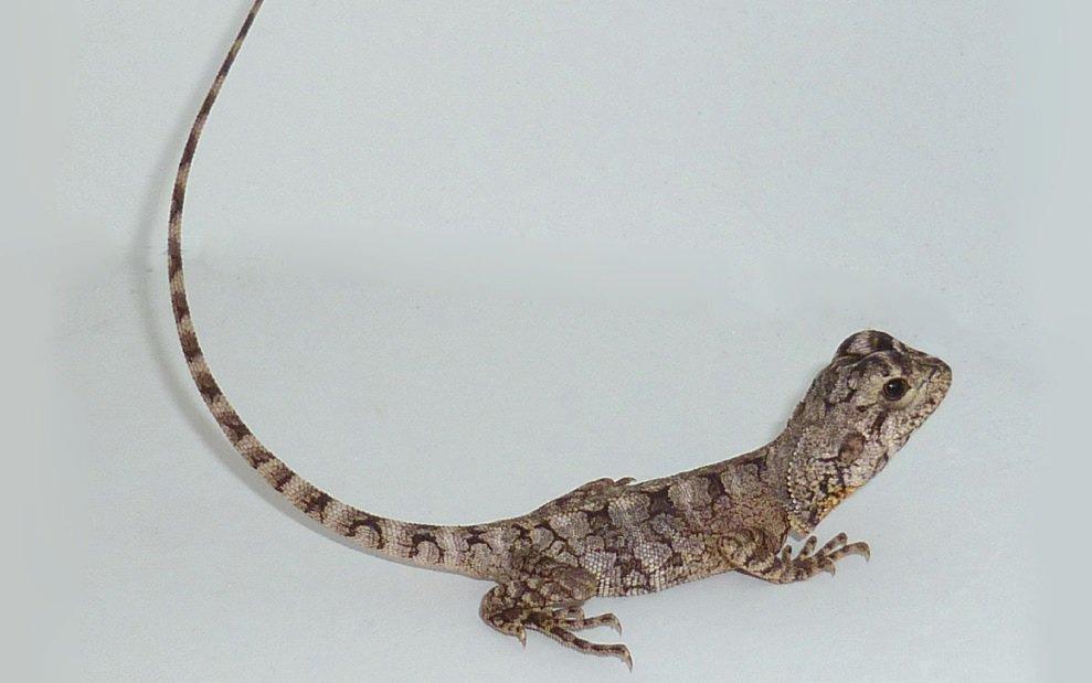Arid Lizard Care Sheet   Petco