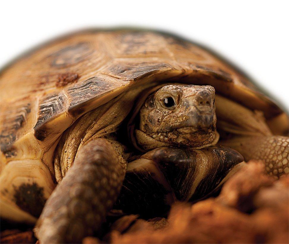 Arid Tortoise Care Sheet   Petco