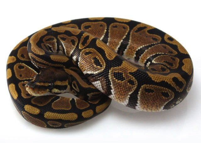 Ball Python Care Sheet Facts