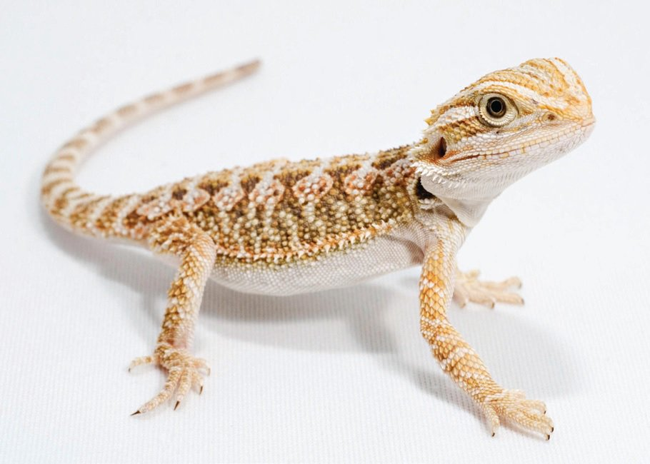 What Size Tanks Do Baby Bearded Dragons Need By Naomi Millburn Bananastock Getty Images
