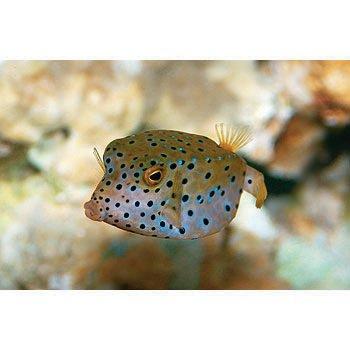 Cubicus Boxfish Care Boxfish and Cowfish Ca...