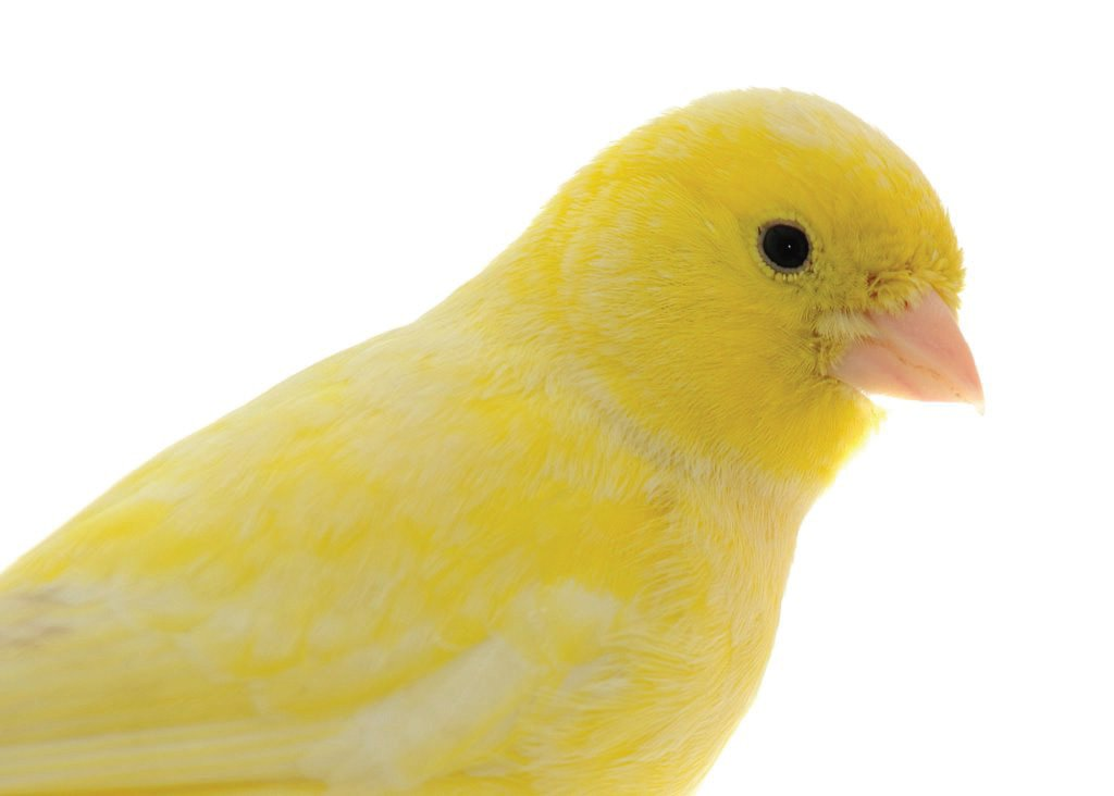Canary Bird Care & Facts | Canaries as Pets | Petco