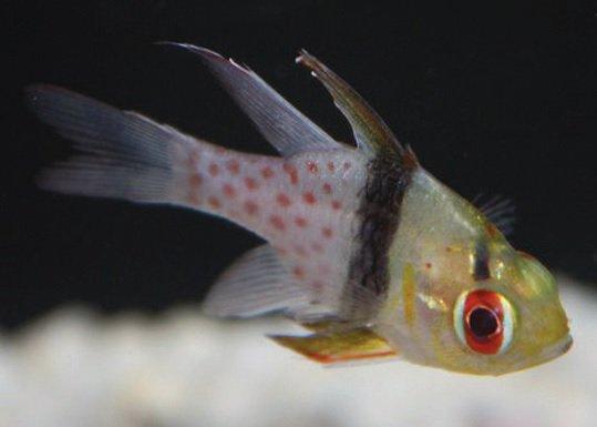 Cardinal fish care sheet petco for Petco saltwater fish