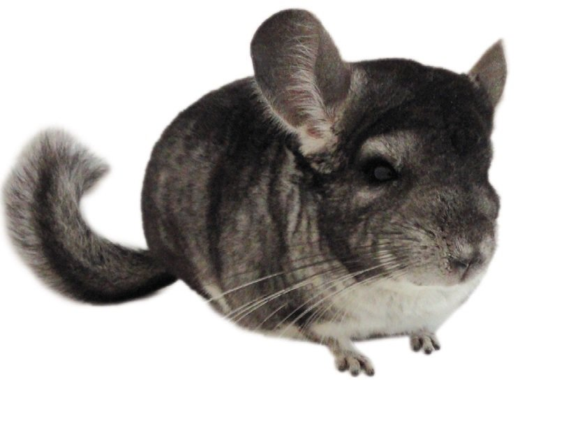 chinchilla care facts how to take care of a chinchilla petco