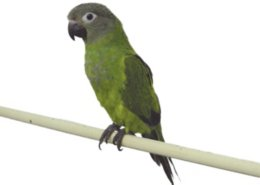 how to teach a green cheek conure to talk