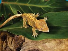 Fun Facts about Crested Geckos | Petco