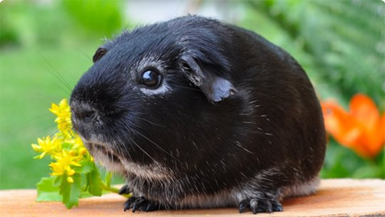 Exercise Tips for a Healthy Guinea Pig