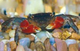 Freshwater Crab | Petco