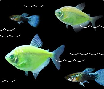 Glofish and Guppies