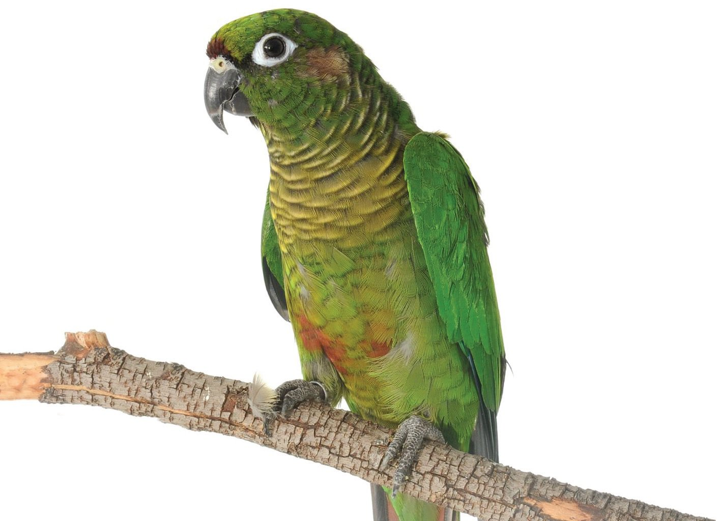 Green Cheek Conure Facts: Lifespan, Price, Diet, Cage, Mutations and Care Tips