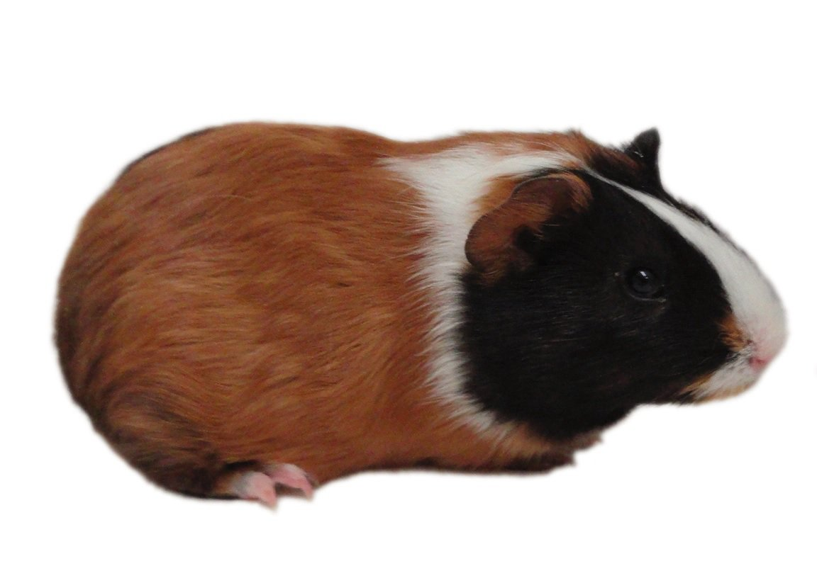 Guinea Pig Care & Facts: How to Take Care of a Guinea Pig