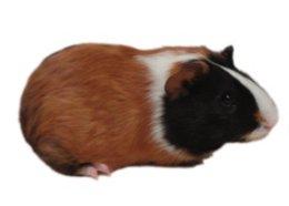 guinea pig care sheet petco