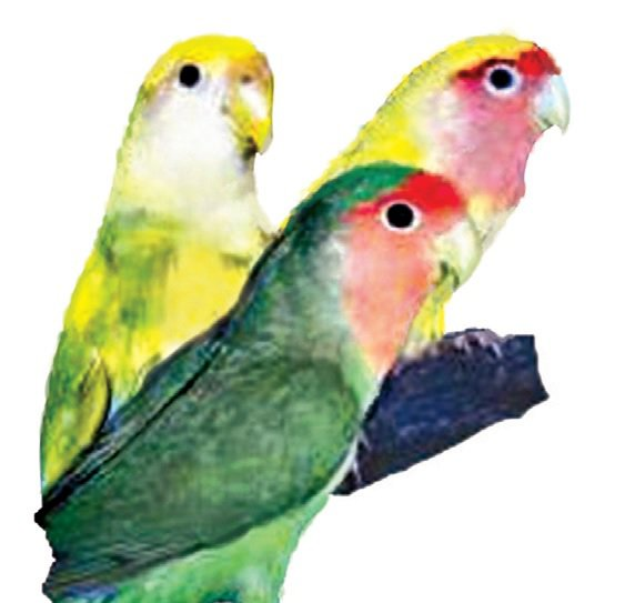 Lovebird Care & Facts | Lovebirds as Pets | Petco