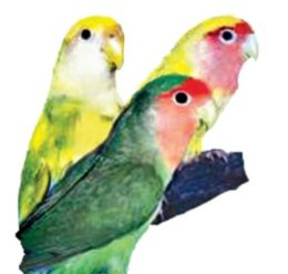 Lovebird Care & Facts   Lovebirds as Pets   Petco