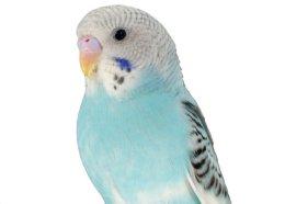 parakeet-8?wid=260