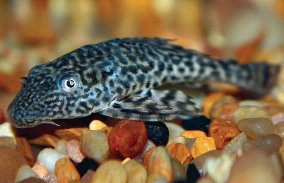 Plecostomus Pleco Fish Care Facts Food More Petco
