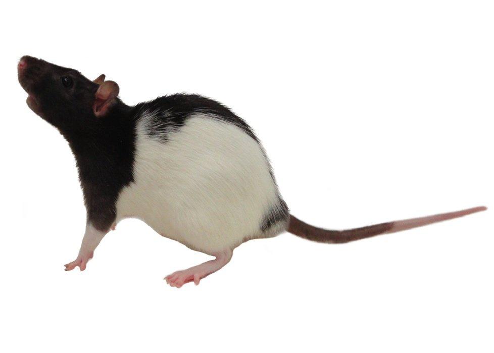 Petco Rats Rat Caresheet |...