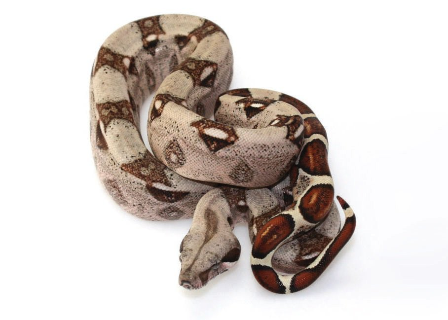 Red-tailed Boa