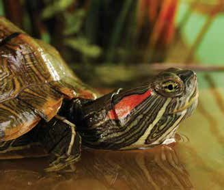 Red Eared Slider Care Sheet | Petco