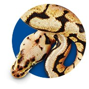 Featured Categories - Ball Python