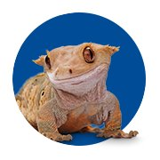 Featured Categories - Crested Gecko