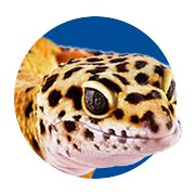 Featured Categories - Leopard Gecko