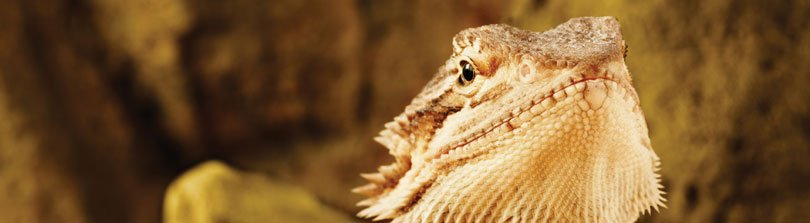 Basic Supplies & Care for Bearded Dragons