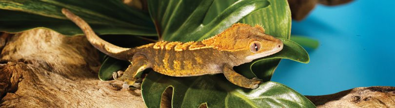 fun facts about leopard geckos petco