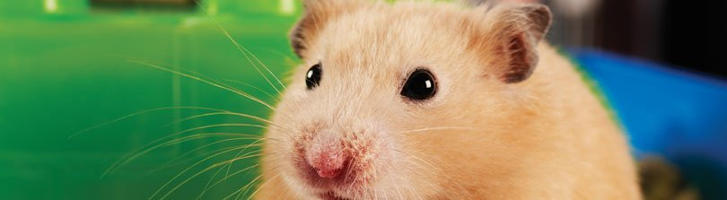 Hamster Traits and Behavior: What's Normal and What's Not