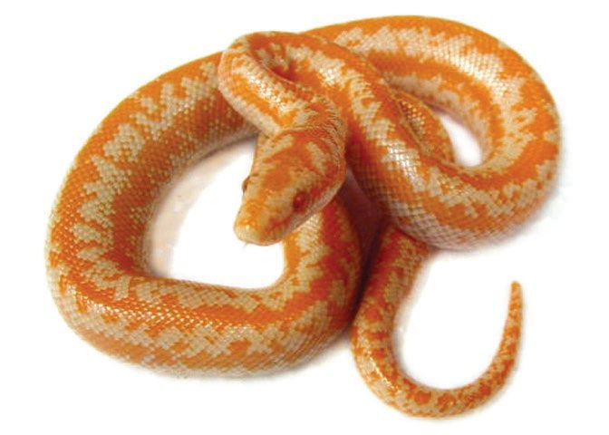 Rosy and Sand Boa