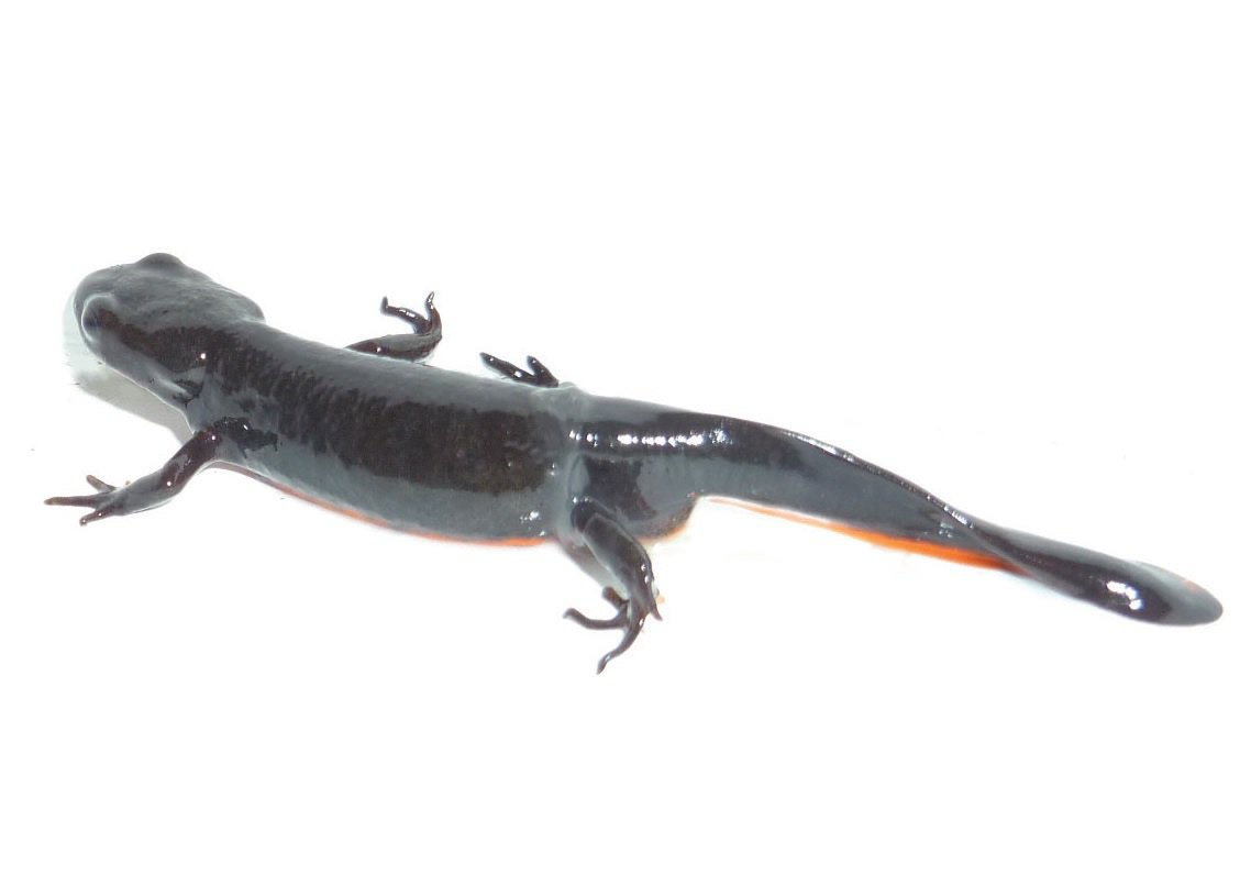 Salamanders And Newts Care Sheet Petco