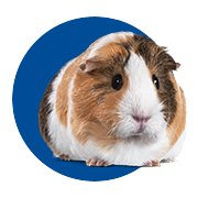 Featured Categories - Guinea Pig Shop