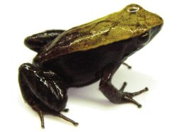 Terrestrial Frogs (small)