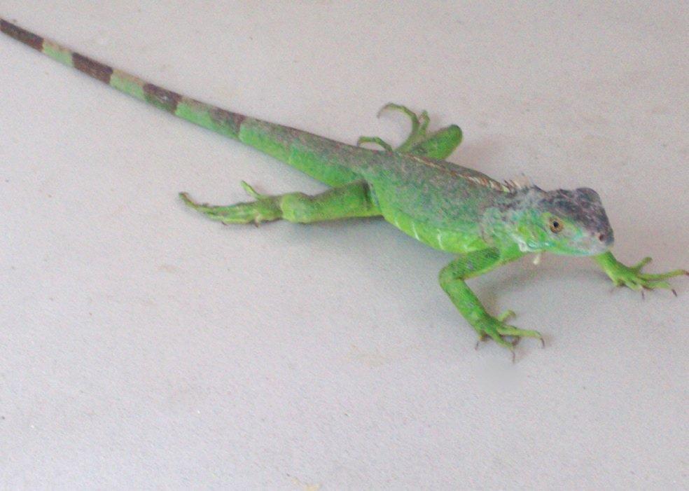Blue Iguana For Sale : Cayman islands green iguanas vs blue iguanas youtube