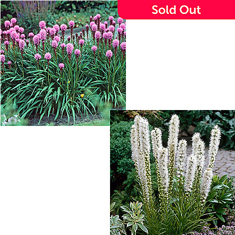 443 534 Spring Hill Nurseries Five Piece Kobold Purple