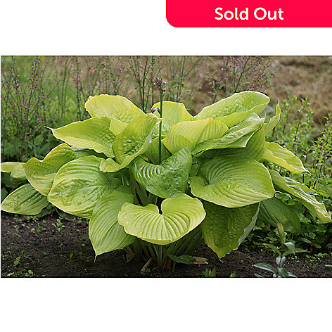 Bloomacre Farms 3 Piece Sum Substance Giant Hosta Evine