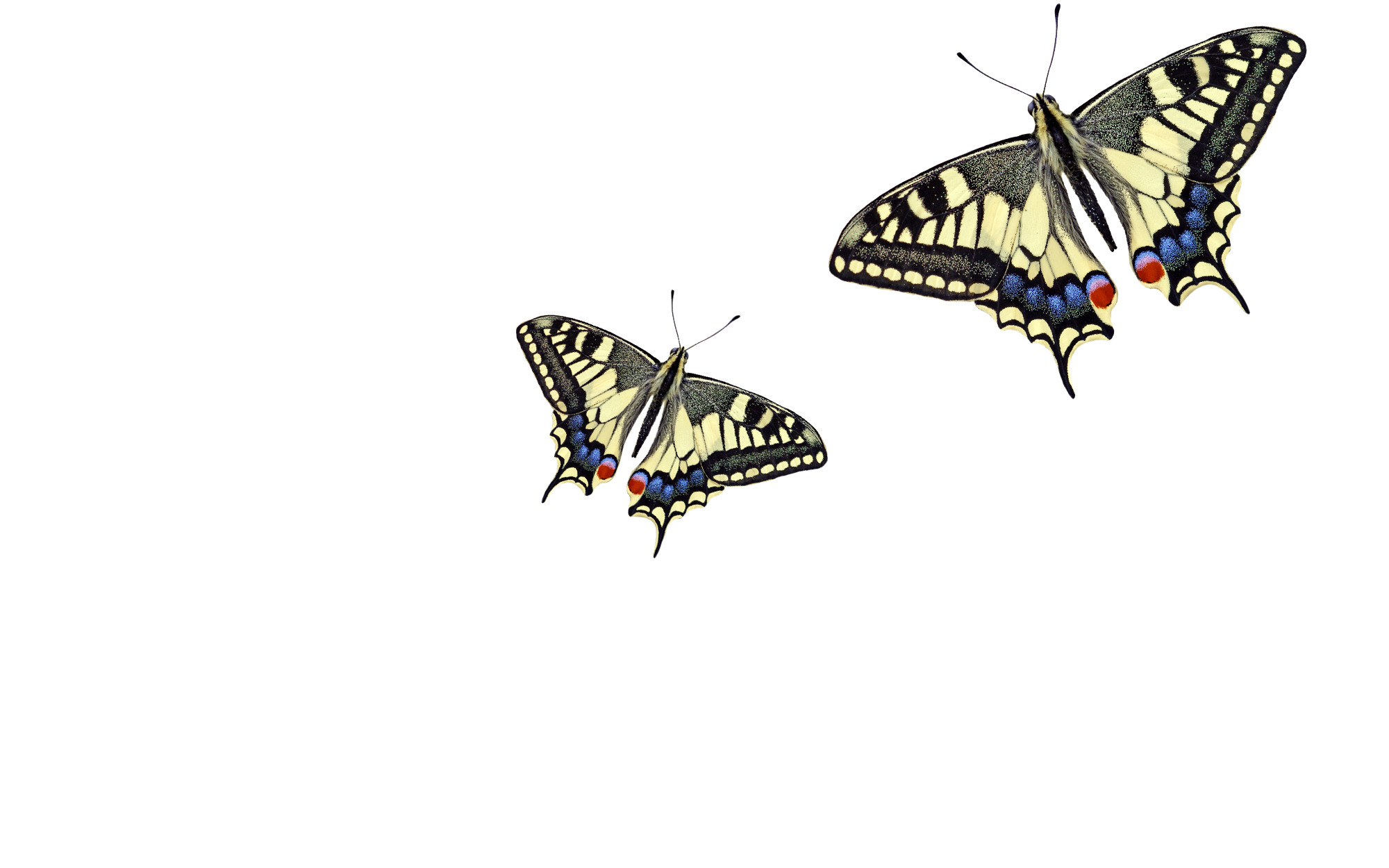 Illustration of two butterflies