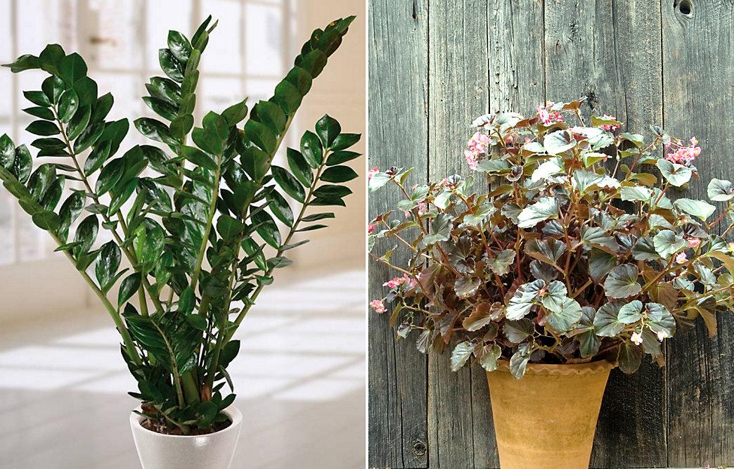 Image Credits 1 Ferns 2l Sansevieria 2r Aralia 3 Aglaonema 4l Zz Plant 4r Begonia 5 Pothos Low Light