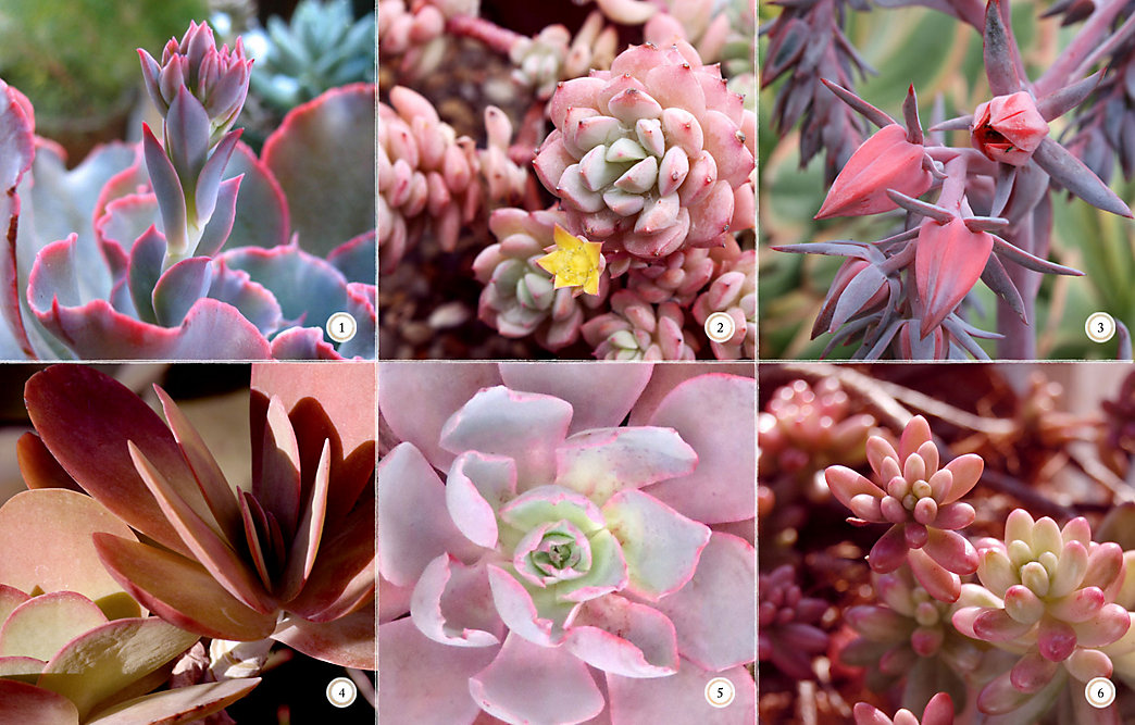 6 pink succulents for your valentine the blog at terrain 6 pink succulents for your valentine mightylinksfo