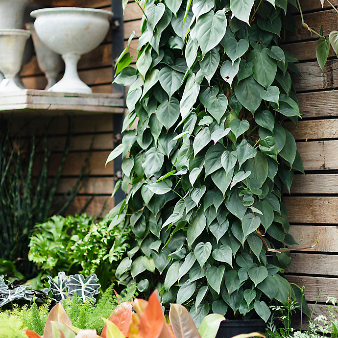 New in the Nursery: Rare Philodendrons