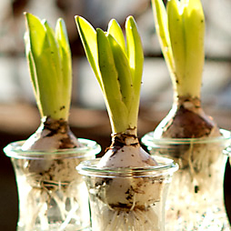 How-To: Spring Bulbs in Weck