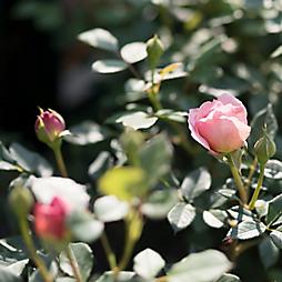 The Fascinating History of David Austin Roses