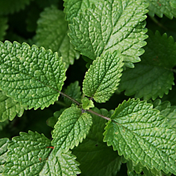 6 Bug Repellent Patio Plants