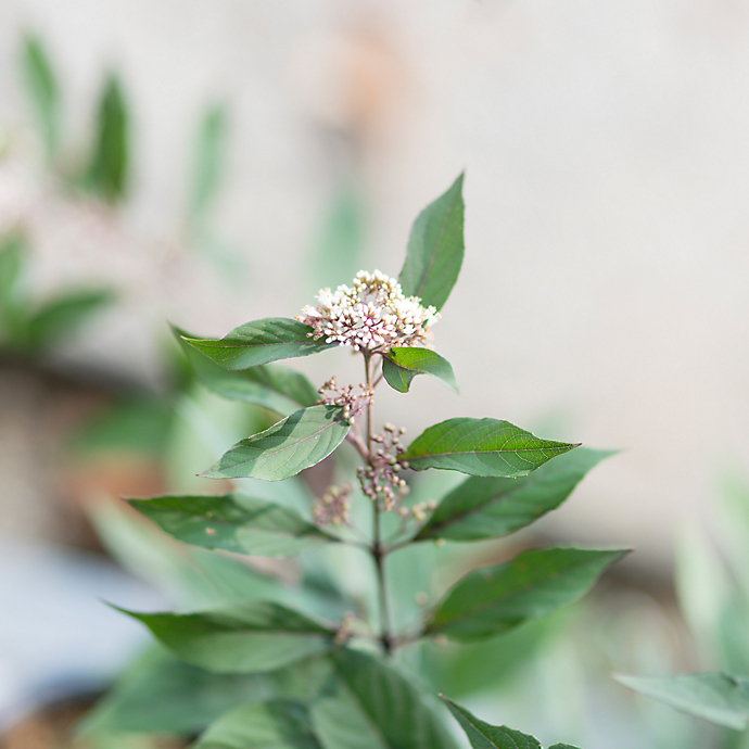 New in the Nursery: Fall Shrubs for Containers