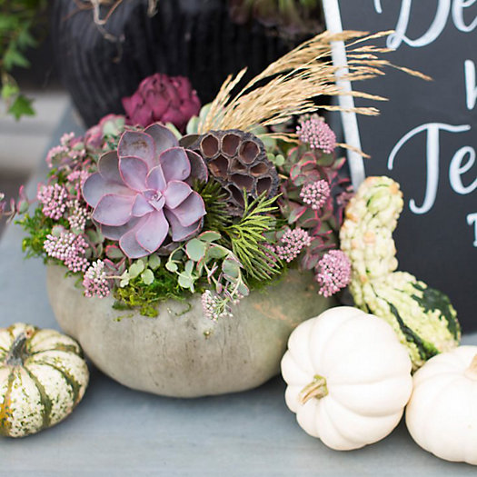 View larger image of Succulent Pumpkins, 11am