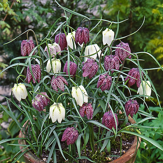 View larger image of Fritillaria meleagris Bulbs