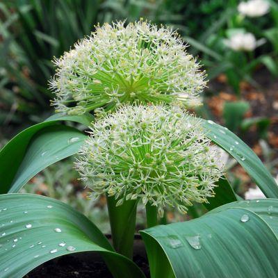 Allium Karataviense Bulbs