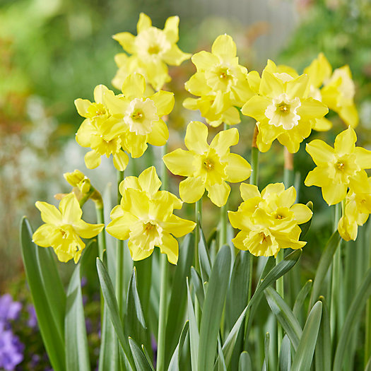 View larger image of Narcissus Pipit Bulbs